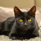 Popular breeds of black cats and cats