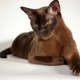 Popular breeds of brown cats and cats