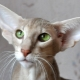 Breeds of cats and cats with big ears