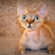 Breed cats with big eyes
