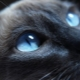Breeds of cats with blue eyes