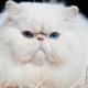 تولد القطط مع وجه مسطح