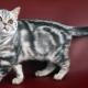 سلالات القطط الرخامية