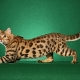 Spotted cat breeds