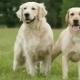 Retriever és Labrador: mi a különbség?