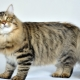 Russian cats: description, breed, choice and nuances of care