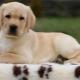 Labrador kölykök 2 hónap alatt: jellemzők és tartalom