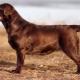 Csokoládé Labrador: leírás, karakterjellemzők és legjobb becenevek