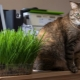 Grass for cats: what they love and how to grow?
