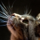 Cat's whiskers: what are they called, what are their functions, can they be trimmed?