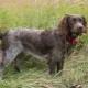 Wakhtelhund: plemeno rysy a podmínky pro psy