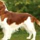 Welsh Springer Spaniel: popis plemene, pravidla péče