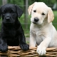 Labrador súlya havonta