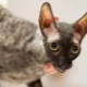 All you need to know about Cornish Rex cats