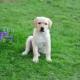 Minden, amire szüksége van egy 3 hónapos Labradorról