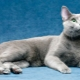 Everything you need to know about Russian blue cats