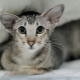 Everything you need to know about Oriental cats and cats