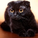 All about black lop-eared cats