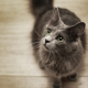 All about nibelung cats