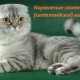 Choosing food for Scottish Fold cats