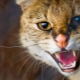 Aggression in cats and cats: the main causes and ways to solve the problem