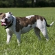 American Dog Breeds: Varieties and Tips for Choosing