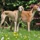 Azawak: Dog Breed Description, Temperament and Care Basics