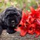 Bouvier a Flandriából: kutyafajta leírása, temperamentuma és gondozása