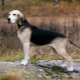 Hounds of dogs: varieties of breeds, especially their content