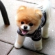 Dwarf dog breeds: advantages and disadvantages, types, selection and care
