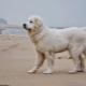 Kuvasz: description of the dog breed, temperament, care