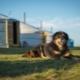 Mongol juhászkutya: fajta leírás, természet és tartalom