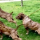 Pumped up dogs: features and review of breeds