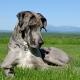 Velcí Dánové: plemeno a péče o psy