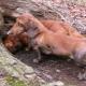 Norny dogs: description of breeds, especially content and nurture