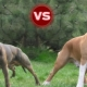 Pitbull and Staffordshire Terrier: the main differences
