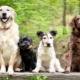 Dog Breeds: Description and Selection