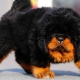 Rare breeds of dogs