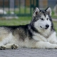 Northern dogs: breed review and content guidelines