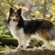 Sheltie: kutyák leírása, színváltozatok és a tartalom jellemzői