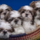 Shih Tzu: description of the breed, character, feeding and care