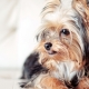Yorkshire Terrier haircuts: types and selection rules