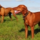 Hungarian vyzhla: description of the breed, types and cultivation