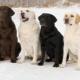 Minden a Labrador Retrieverekről