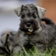 All about Giant Schnauzers