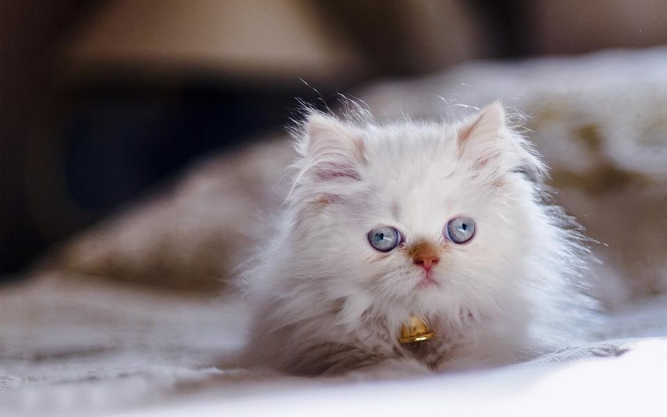 Download 64+  Gambar Kucing Persia Warna Coklat Lucu