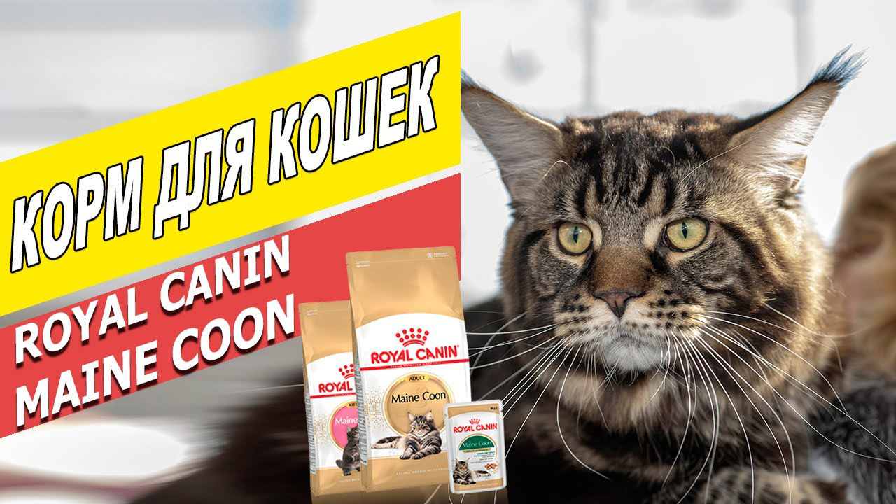 How To Feed A Maine Coon Kitten 31 Photos Proper Nutrition In 1 And 2 Months Feeding And Care In 3 And 4 Months What Is The Best Way To Eat Maine Coon Kittens