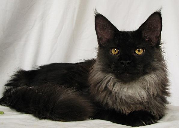 Besplatna crna maca vedio