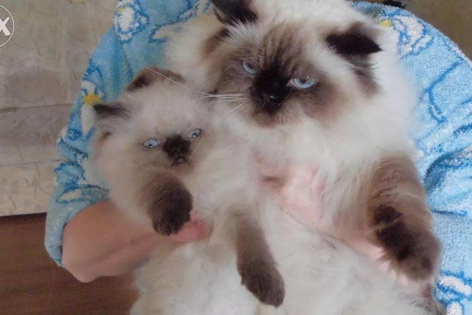 Kucing Himalaya 42 Gambar Gambaran Keturunan Kucing Siam Persia Ciri Ciri Watak Dan Warna