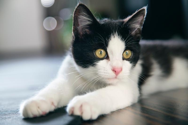 Nama Nama Untuk Kucing Hitam Dan Putih 8 Gambar Bagaimana Menamakan Anak Kucing Berwarna Dua Dengan Warna Hitam Dan Putih Nama Apa Yang Lebih Sesuai Untuk Kanak Kanak Lelaki Dan Yang Mana Untuk Kanak Kanak